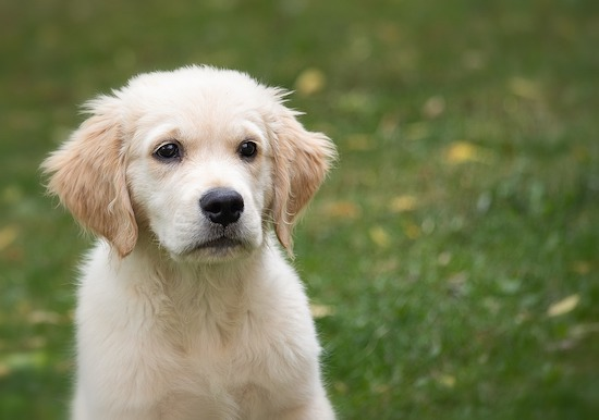Chiots Retriever
